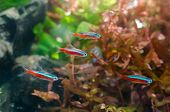 picture of neon green  - Neon tetra fish with aquatic plant in aquarium - JPG