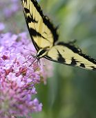 picture of butterfly-bush  - Eastern Tiger Swallowtail Butterfly On A Purple Butterfly Bush - JPG