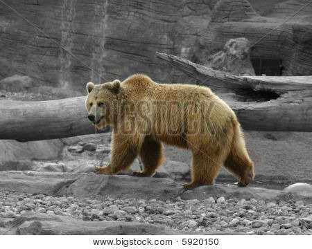 Grizzly in Color with B&W Background