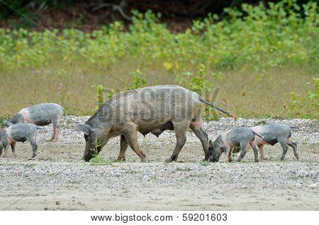 pigs outdoor in summer