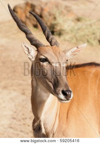 clsoup of the largest African antelope, a Common Eland (TauroTragas Derbianus)