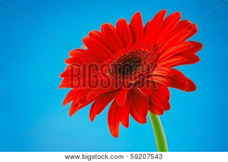 Red Gerbera Daisy Flower Isolated On Blue Background