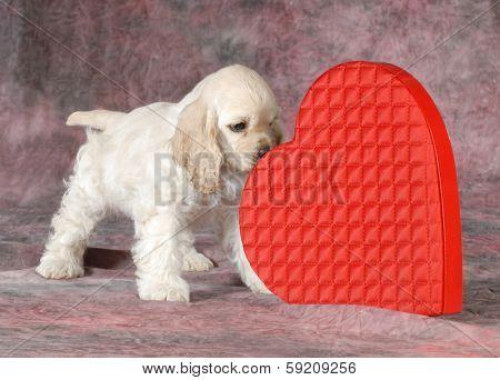 valentine puppy - cocker spaniel sniffing red heard on pink tone background - 9 weeks old