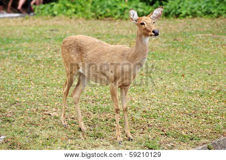 The Sika Deer