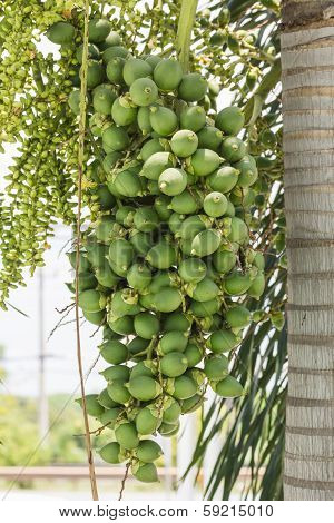 Are-ca Nut Palm On Tree