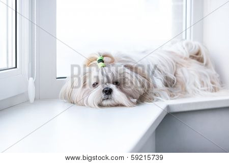 Shih tzu dog lying by windows.