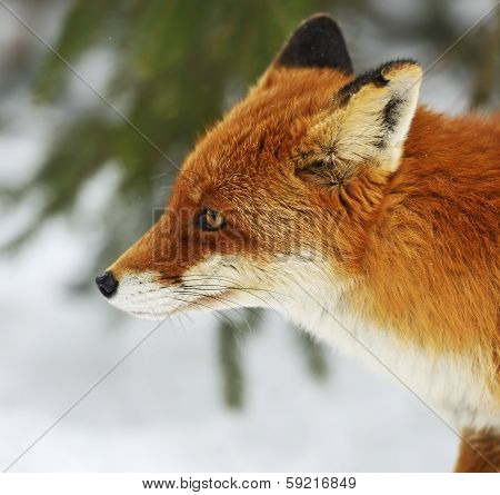 Portrait Foxes