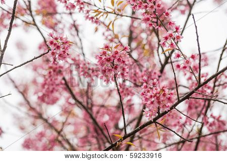 Wild Himalayan Cherry Flower Blossom