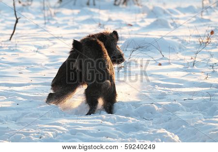 Male wild boar fighting
