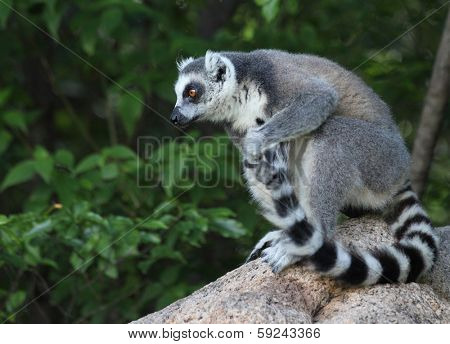 Ring tailed lemur (Lemur Catta) cleaning its tail in a forest. Madagascar