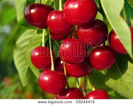 Ripe Sweet Cherry On A Tree