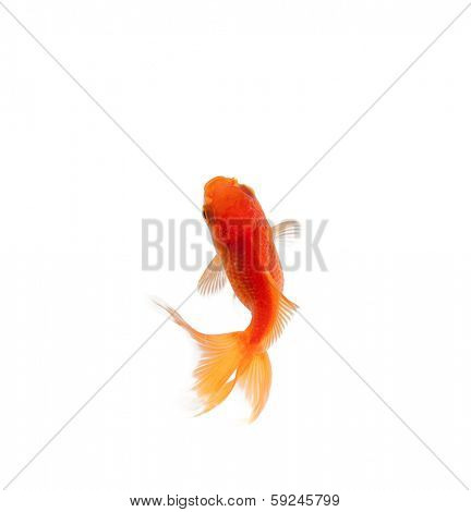 Top view of goldfish swimming in fishbowl, isolated on white. Concept of wild nature and environment