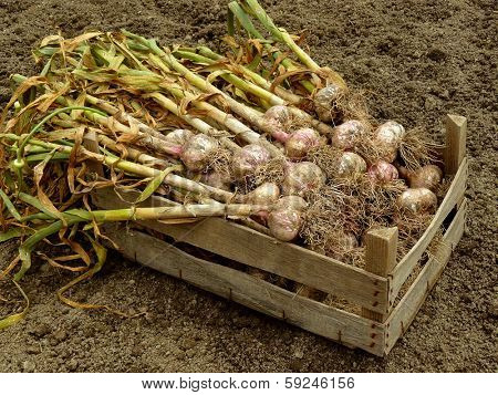 garlic harvest in wooden box