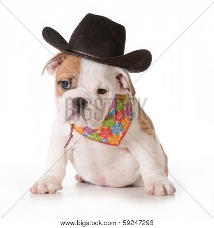 country dog - english bulldog puppy dressed up in western gear isolated on white background- 9 weeks old