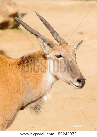 young taurotragus derbianus or common Eland, the largest of the African antelope