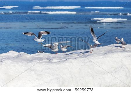 A Group Of Seagulls On A Sheet Of Ice With Open Water