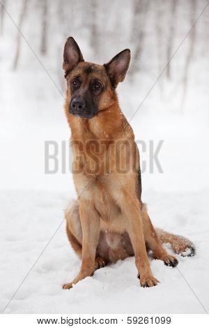 Chestnut Shepherd Sitting In The Snow