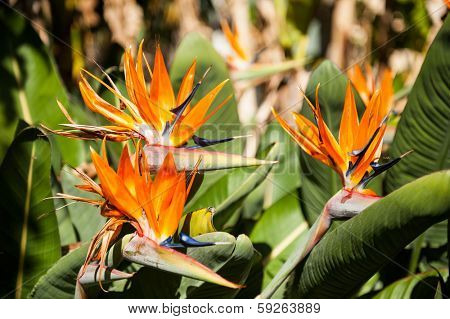 Bird of paradise flower (strelitzia) in the Australian gardens
