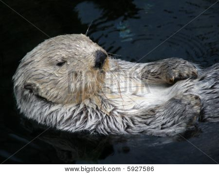 Sleepy Sea Otter