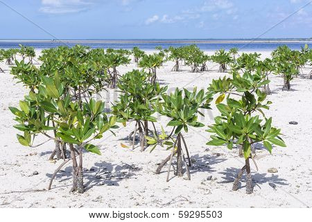Young Mangroves On Beach
