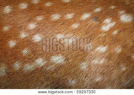 Fallow Deer Spots On Fur