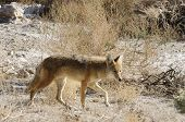 Coyotes in Death Valley