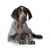 german shorthaired pointer puppy laying down isolated on white background - 12 weeks old