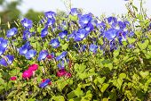 image of ipomoea  - Morning glory or Ipomoea is flowering plants in the family Convolvulaceae - JPG