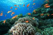 pic of damselfish  - Hard Corals and Lyretail Anthias and Damselfishes - JPG