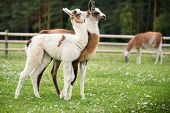 stock photo of lamas  - Baby lamas playing together - JPG