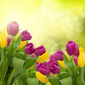 stock photo of violet flower  - red and violet tulips flowers on colorful bokeh background - JPG