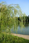 picture of weeping willow tree  - image of one weeping willow in city park at day - JPG