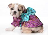 picture of geisha  - dog geisha  - JPG