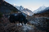 foto of yaks  - Yak in Himalayas - JPG