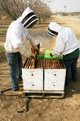 stock photo of bee keeping  - Genuine Unidentifiable Bee Keepers inspect their Bee Hives and their Bees to make sure they are healthy and doing their job of pollinating plants and making honey - JPG