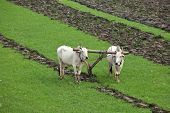 stock photo of farmworker  - Plowing rice fields with an ox team in Myanmar - JPG