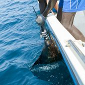 image of sailfish  - Sailfish catch billfish sportfishing holding bill with hands and gloves - JPG
