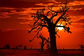 Africa sunset in Baobab trees colorful sky photo-mount
