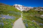 stock photo of wildflowers  - Mount Rainier hiking trail through meadow of wildflowers Mount Rainer National Park Washington - JPG