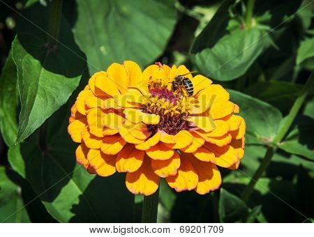 Honey Bee Pollinates A Yellow Flower
