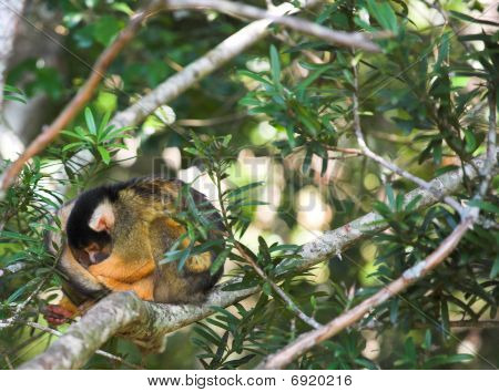 Cute Squirrel Monkey (saimiri) At Monkey World In South Africa