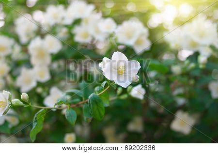 Jasmine flower. Composition of nature.