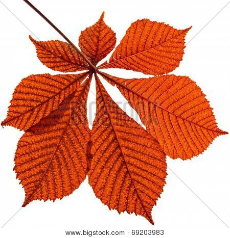 One Single Leaf of horsechestnut tree close up (Aesculus hippocastanum) isolated on a white background