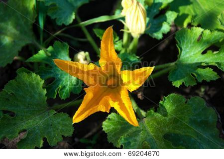 Pumpkin Yellow Flower Blossoming