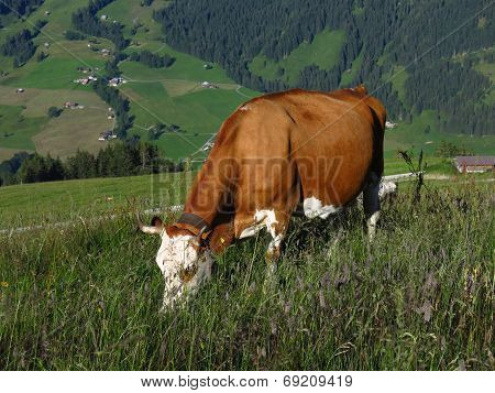 Grazing Swiss Cow