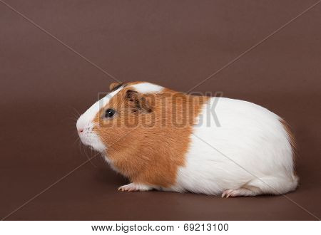 Guinea-pig On The Brown Background