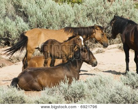 Pryor Mountain Mustangs