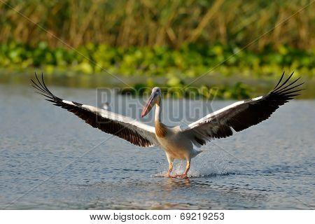 pelican in natural habitat
