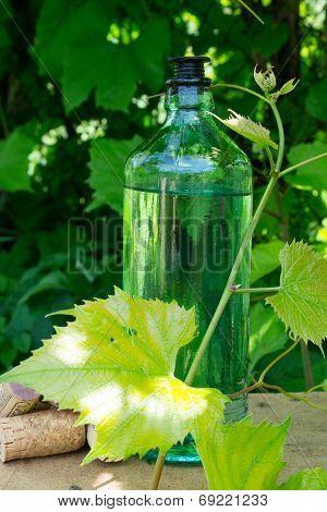 White wine bottle, young vine in the garden