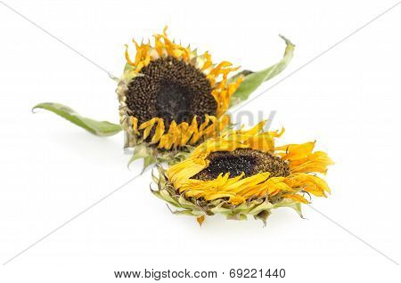 Withered sunflowers on White background isolated .